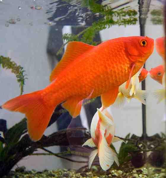 Comment amener de l'eau dans un aquarium sans pompe à oxygène?