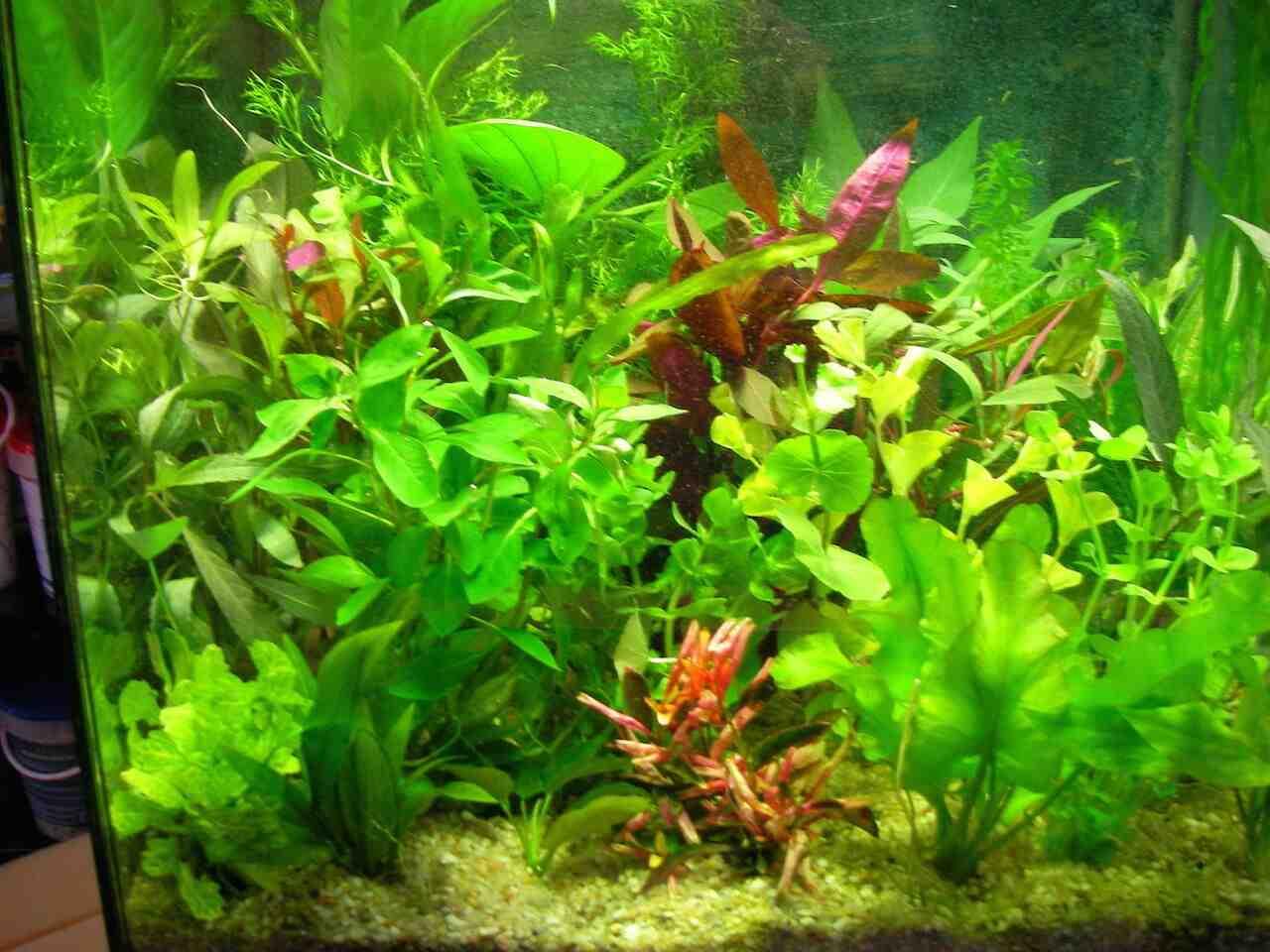 Comment poussent les plantes d'aquarium?