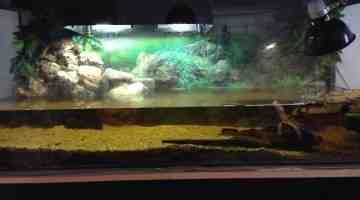 Comment savoir si un poisson manque d'oxygène?