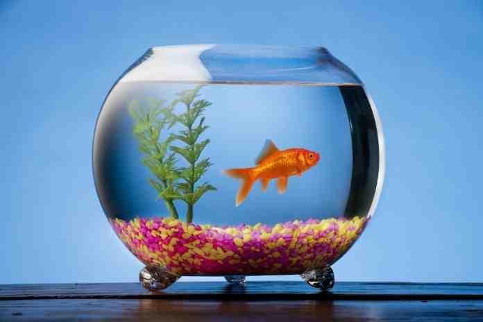 Pourquoi ne pas mettre du poisson d'or dans un bol?