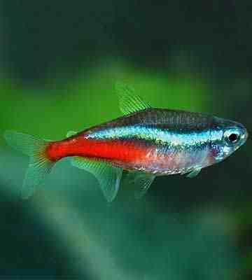 Quel genre de poisson vit sur les guppys?
