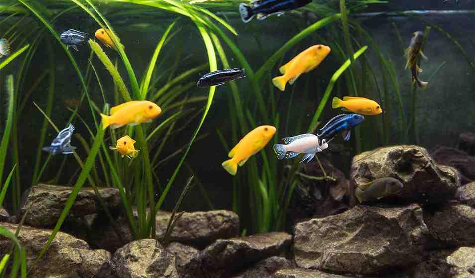Quel pierre pour aquarium cichlidés ?