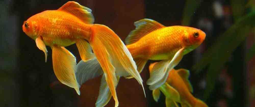Quel poisson a commencé l'aquarium?