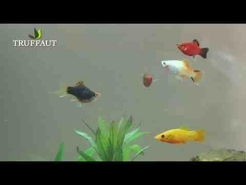 Quel poisson mettre dans un aquarium de 70 litres?