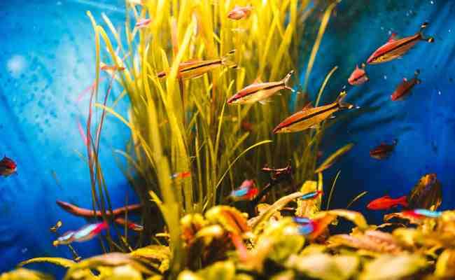 Quel poisson mettre en premier dans un aquarium ?