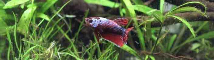 Quel poisson peut vivre dans un aquarium sans pompe ?