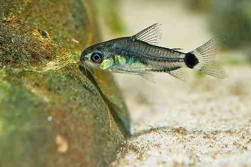 Quel poisson pour l'aquarium 4l?