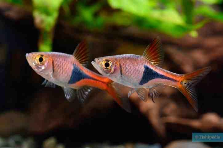 Quel poisson pour nettoyer le fond de mon aquarium?