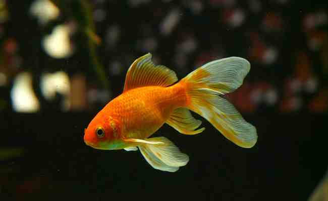 Quel poisson pour un aquarium amazonien?