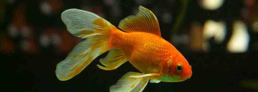 Quel poisson pour un aquarium nain?