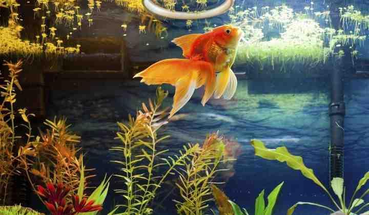 Quel poisson pour un aquarium sans pompe?