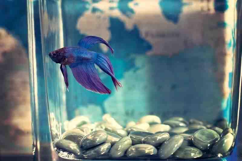 Quel poisson pour un petit aquarium avec de l'eau froide?