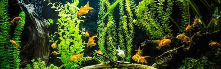 Quel poisson pour un petit aquarium d'eau froide?