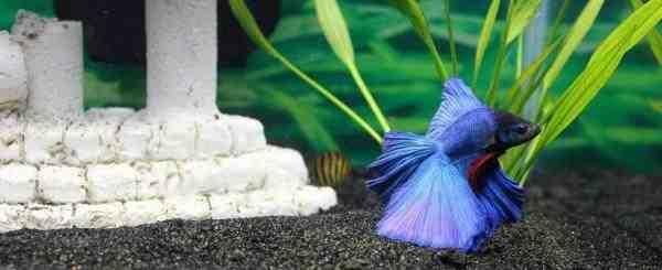 Quel poisson sont compatible avec les Guppy ?