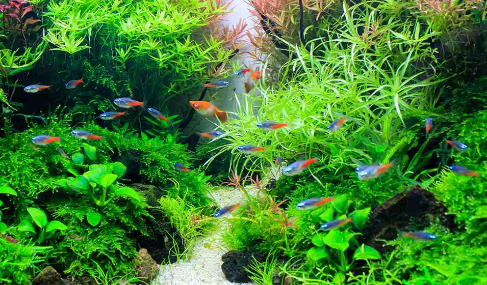Quelle pierre pour un aquarium amazonien ?