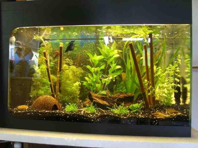 Quelles plantes pour l'aquarium amazonien?