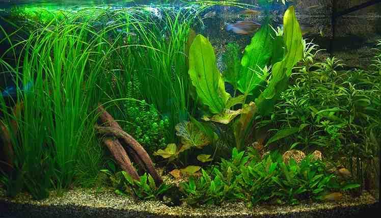Quelles plantes pour un aquarium amazonien ?