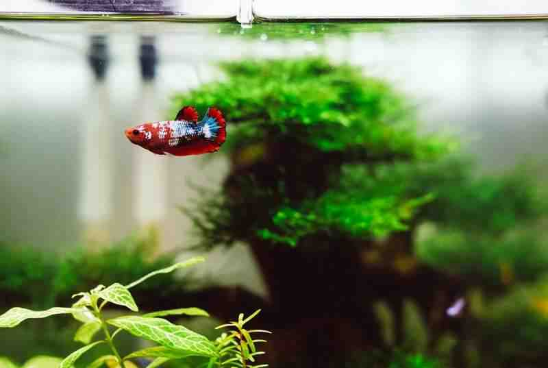 Quels poissons dans un aquarium de 10 litres?
