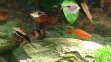 Quels poissons dans un aquarium de 15 litres?