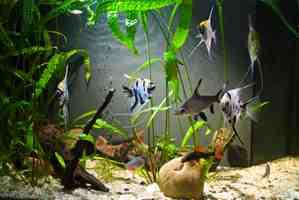 Quels poissons d'aquarium sans chauffage?