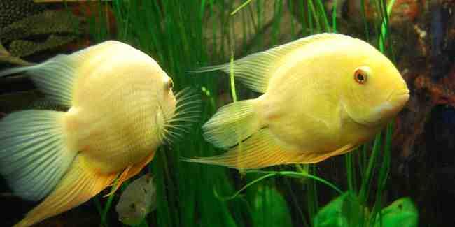 Quels poissons mettez-vous avec des néons?