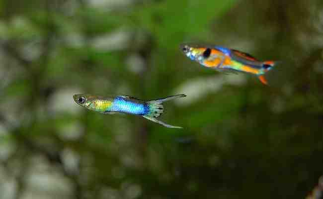 Quels poissons vivent avec les guppys?