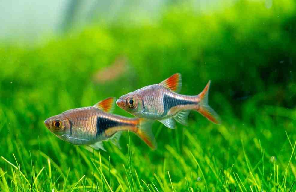 Quels sont les poissons les plus résistants dans un aquarium?