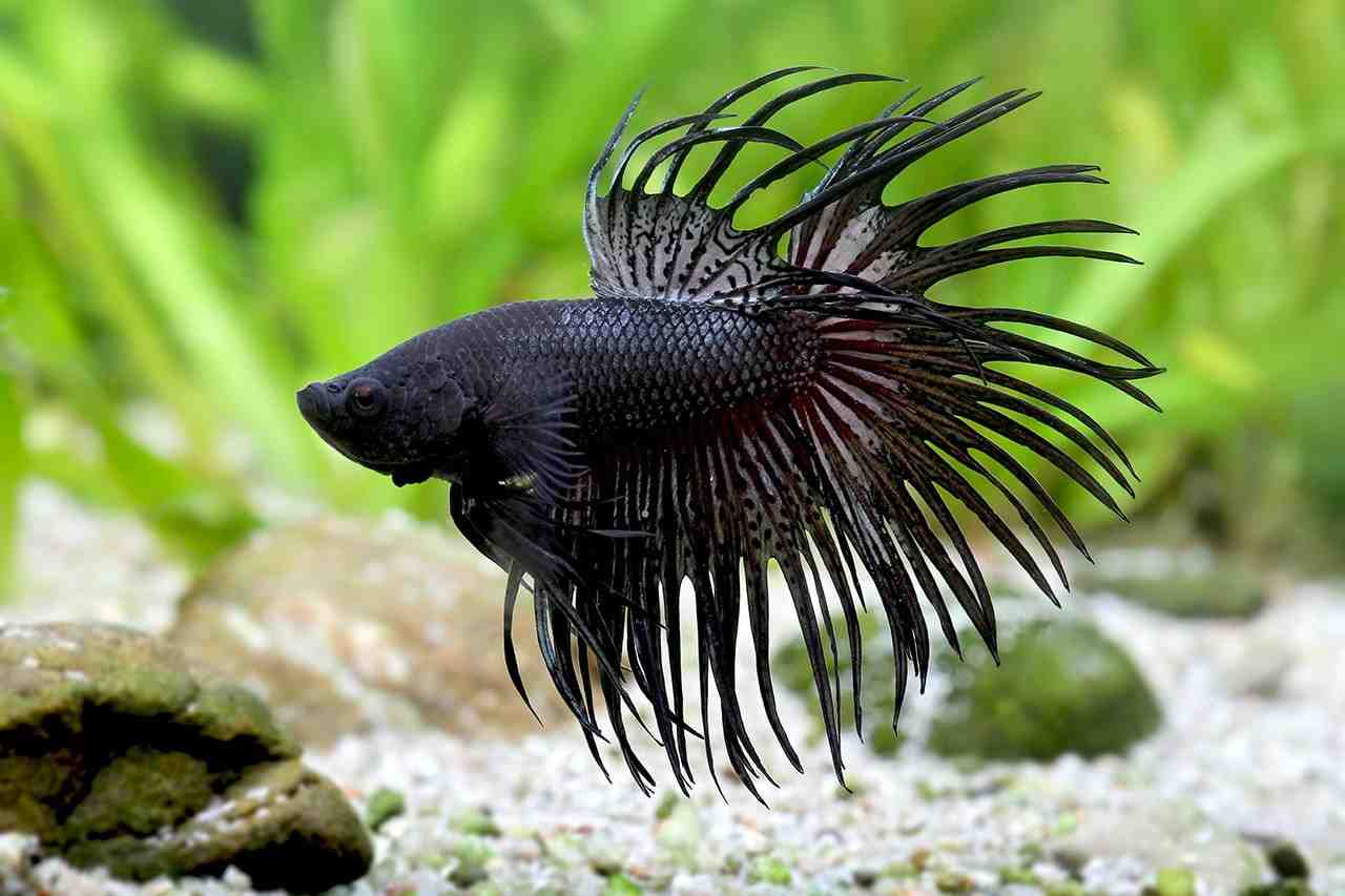 Un poisson rouge peut-il vivre seul?