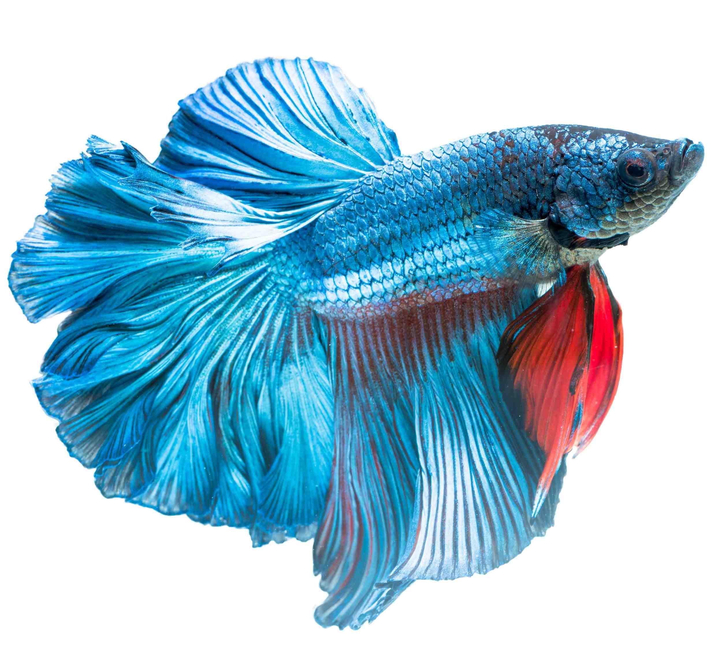 À quoi pêchez-vous dans un aquarium de 100 litres?