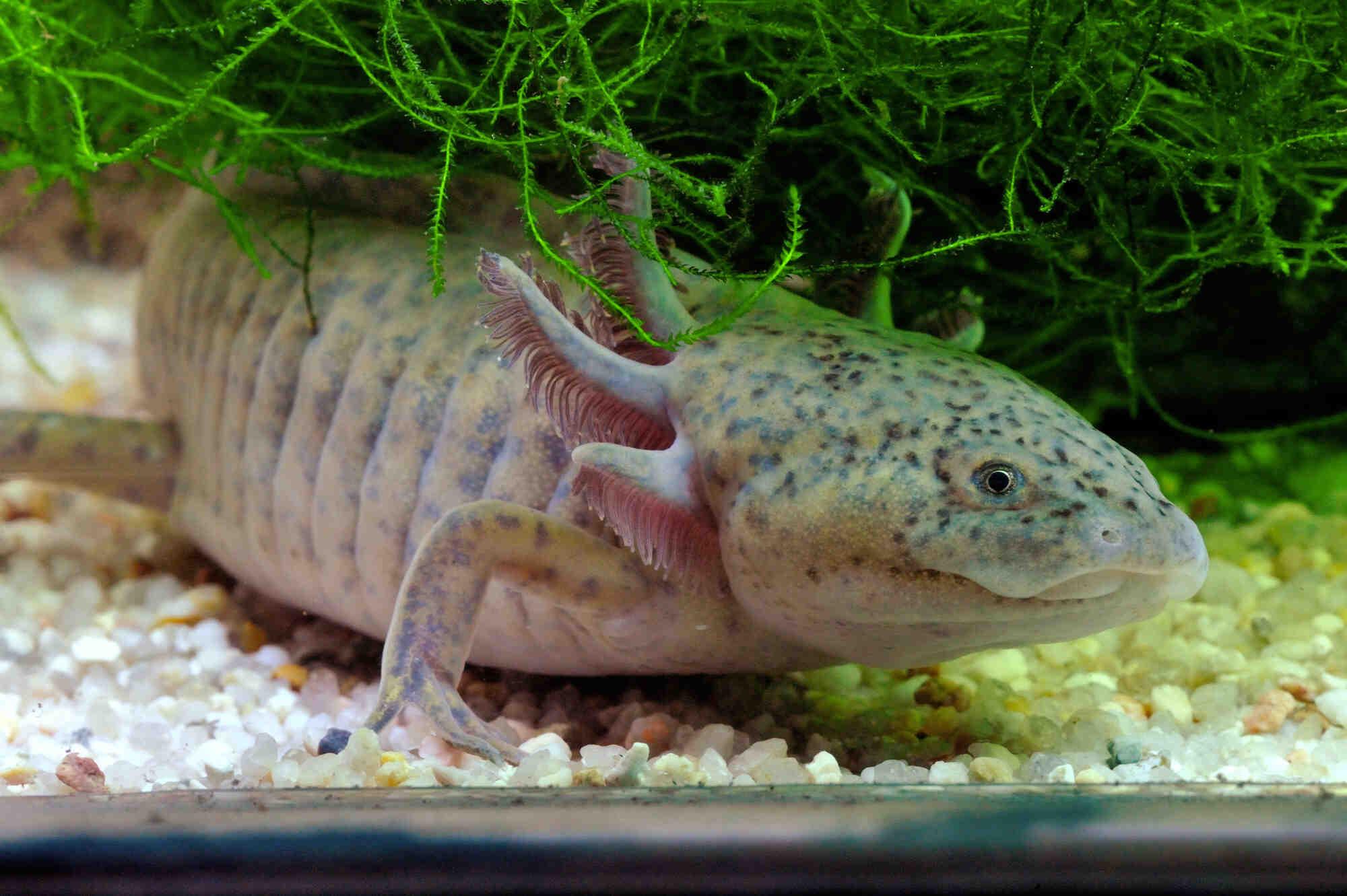 Comment adopter un axolotl?