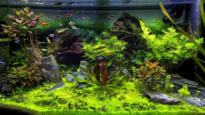 Comment faire un aquarium d'eau douce?
