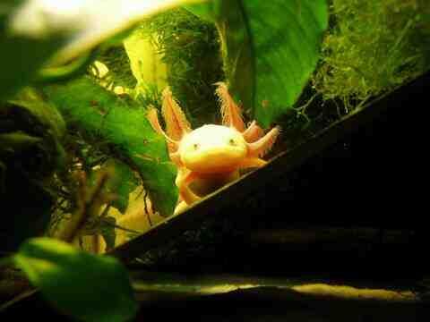 Comment muter un axolotl?