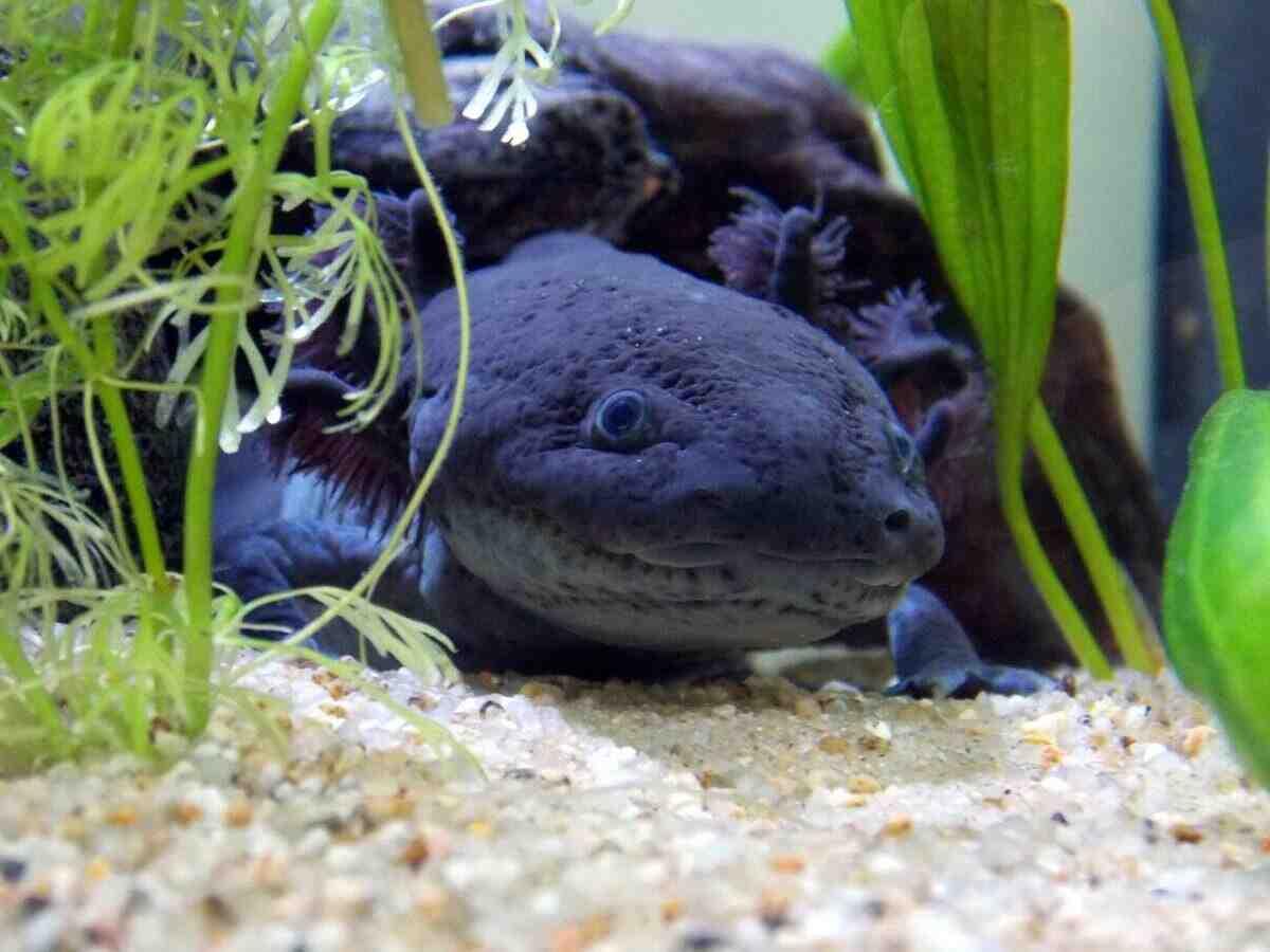Comment nourrir le bébé axolotl?