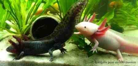 Comment obtenir un axolotl?