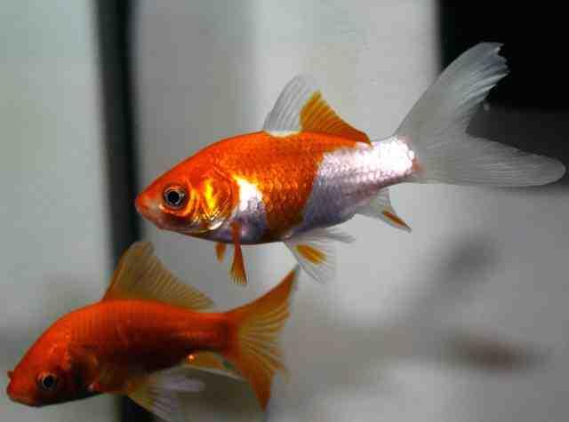 Comment obtenir un poisson rouge dans un aquarium?