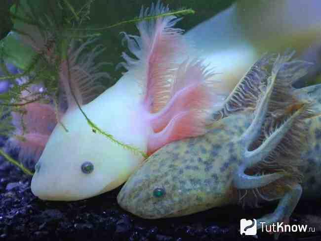 Comment savoir si un axolotl est mort?