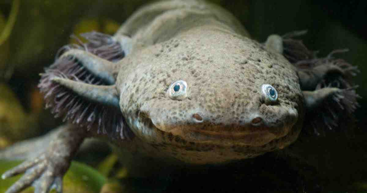 Comment un axolotl voit-il?