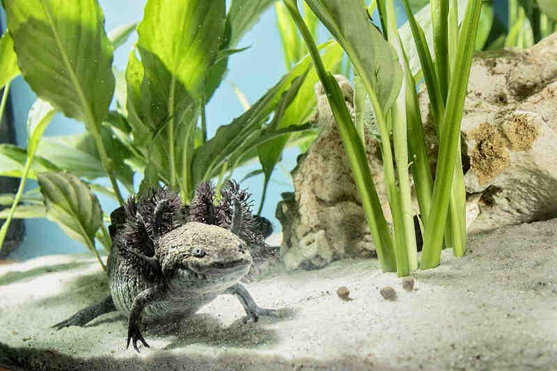 Comment voyez-vous axolotl?