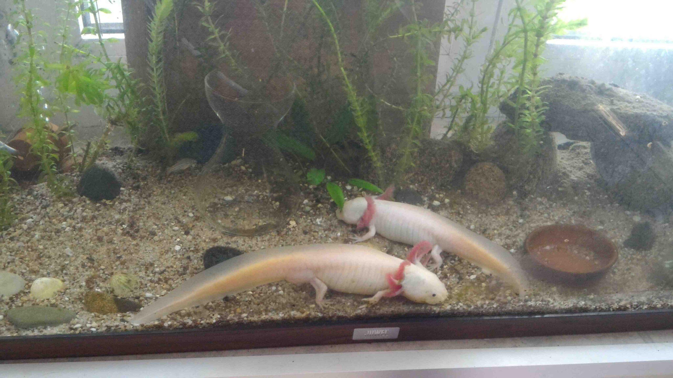 De quelle taille d'aquarium ai-je besoin pour un axolotl?