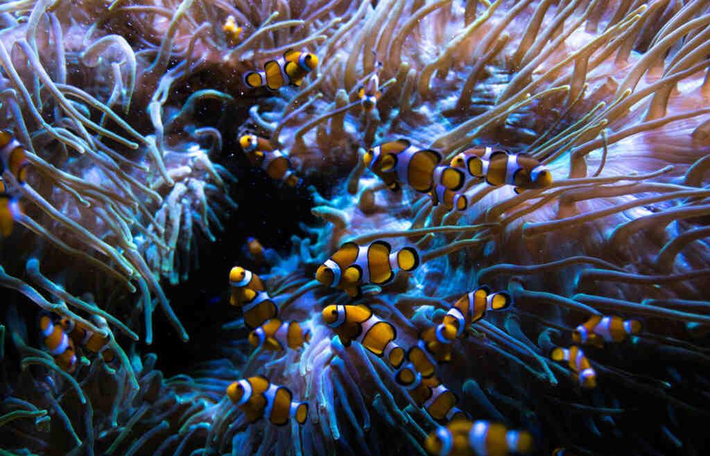 Que sont les prédateurs de poissons clowns?