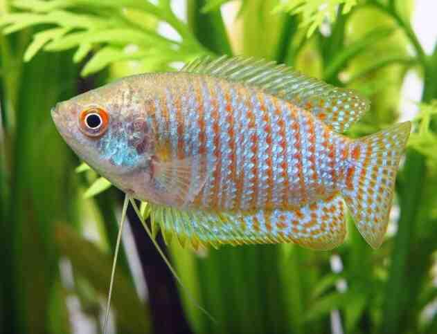 Quel est le poisson le plus dur d'un aquarium?