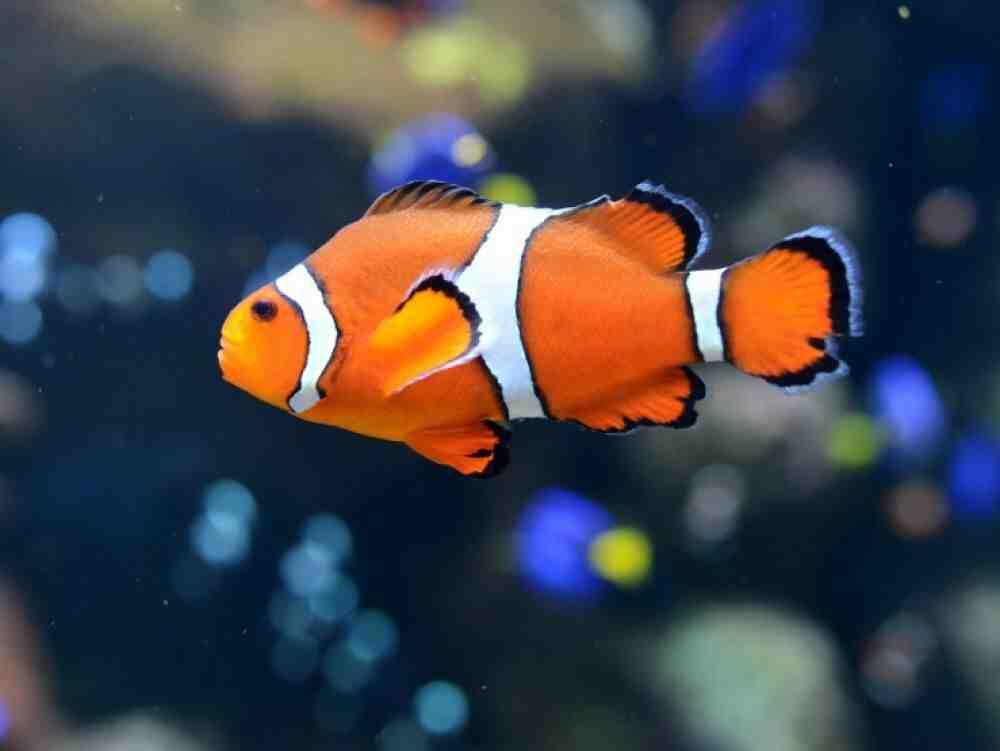Quel est un autre nom pour le poisson clown?