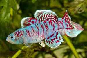 Quel genre de poisson dans l'aquarium 4l?