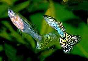 Quel poisson avec guppy et crevettes?