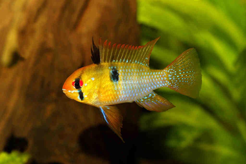Quel poisson dans un petit aquarium?