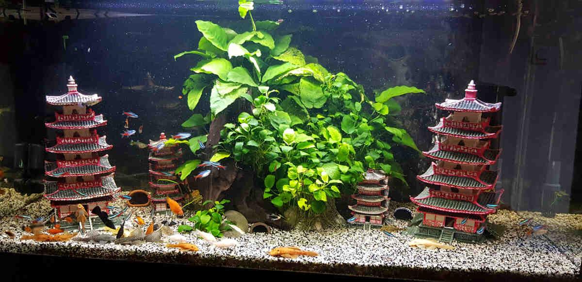 Quel poisson mettre dans un aquarium de 60L?