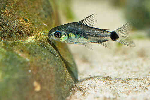 Quel poisson pour l'aquascaping?