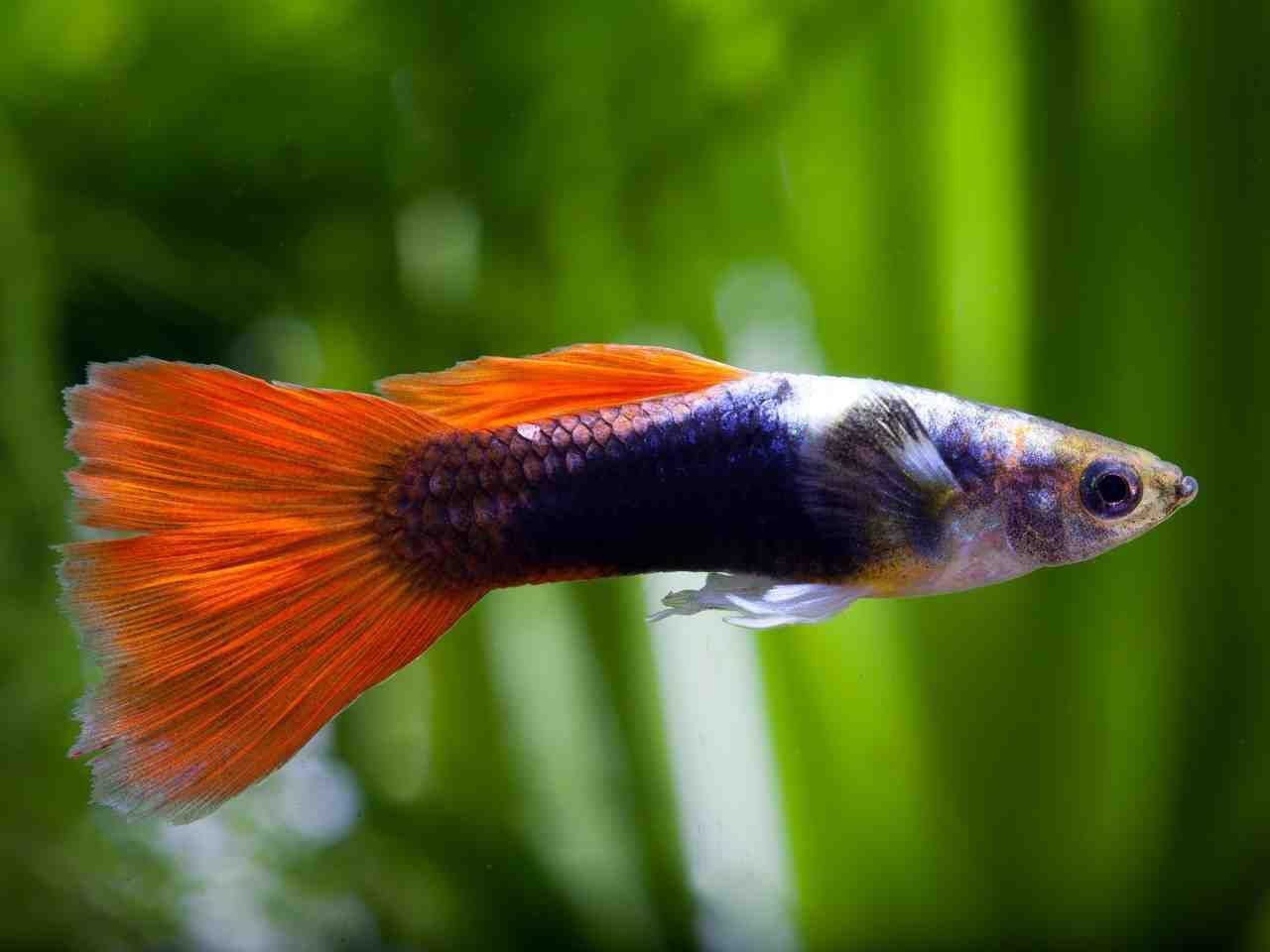 Quel poisson pour un petit aquarium 2l?