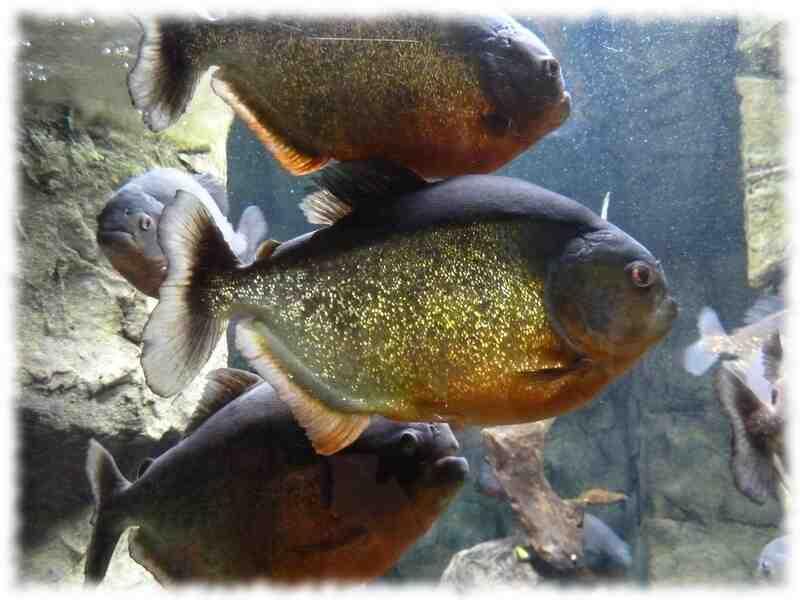 Quel type de poisson inclure dans l'aquarium?