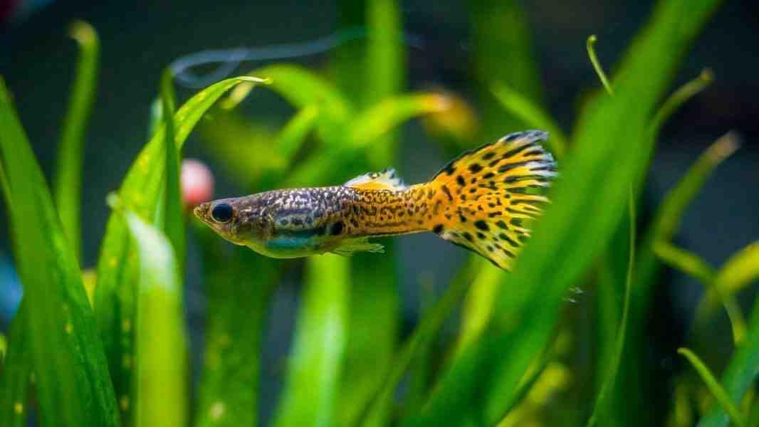 Quel type de poisson pour les aquariums d'eau froide?